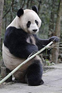Panda senta em banquinho para almoçar bambu