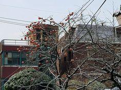 출근길에 발견한 눈쌓인 감나무가지....이렇게 벌써..시간은 흘러..차가운 겨울을 토해내고 있었구나....=_= Plants, Outdoor, Outdoors, Flora, Plant, Outdoor Games, Outdoor Living, Planting