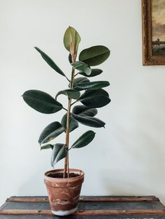 Urban jungle bloggers, plants and art, Ficus Elastica.