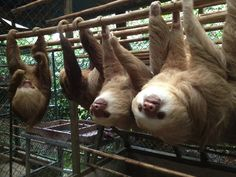 Hoffman's two-toed sloths