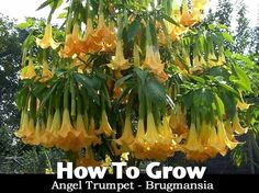 How To Grow Angel Trumpet - Brugmansia