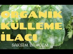 ORGANİK BÖCEK İLACI YAPIMI #2 (KÜLLEME, MANTAR İÇİN) - YouTube