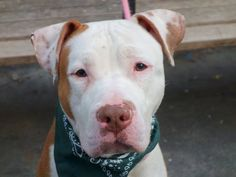 TO BE DESTROYED SATURDAY, 3/15/14 Manhattan Ctr -P MR CAKE A0993025 Male wht/brwn pit mix 4YRS STRAY 3/3/14 Mr Cake was found abandoned. Leashed easily, friendly, & affectionate. Mr Cake has a lot of wt. to catch up w/. Sits on command, comes when called. Some food guarding & problems w/ dog to dog, common for strays, retrainable! It doesn't make him a bad dog but one who should go to an experienced & loving owner who will try to mend his broken life. AN OFFER TO PAY ADPTION & NEUTER FEES!