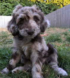 Omgeeee! This will be my dog someday! Aussiedoodle! Australian Shepherd and Poodle. Perfect!