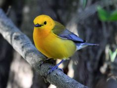 By Laura Erickson   - Prothonotary Warbler