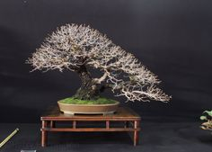 Quercus faginea/Portuguese Oak bonsai