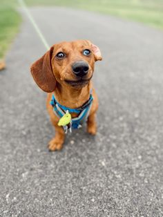 Short Haired Dachshund, I Love Dogs, Oakley, Content, Instagram