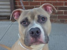 TO BE DESTROYED 1/15/14 Brooklyn Center -P  My name is MANNY. My Animal ID # is A0988817. I am a male tan and white pit bull mix. The shelter thinks I am about 7 MONTHS old....See More