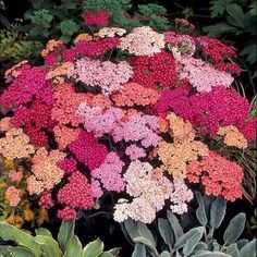 Find Achillea Summer Berries online from Johnsons Seeds Flower Seeds, A delightful, easy to grow mix of rich colours perfect for borders and cutting. Backyard Plants, Balcony Plants, Backyard Garden Design, Landscaping Plants, Garden Plants, Diy Garden, Hardy Perennials, Flowers Perennials, Planting Flowers