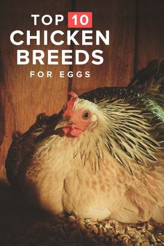 Best Chicken Breeds for Eggs
