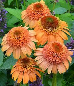 ❀ ✿༻ Passion for FLOWERS ❀ Supreme Cantaloupe Cone Flower