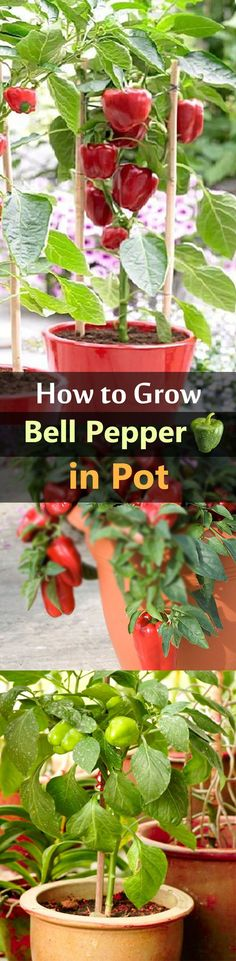 Growing bell peppers in pots is a great idea if youre short of space or live in a cold temperate climate as it requires warm soil to thrive. Growing bell peppers in pots Veg Garden, Garden Care, Fruit Garden, Edible Garden, Garden Web, Balcony Garden, Veggie Gardens, Vegetable Gardening, Organic Gardening