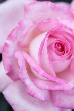 Pink rose - Картинка на теР