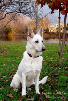 Beautiful white german shepherd.