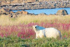 """The """"polar bear capital of the world"""" AKA Churchill, Manitoba 
