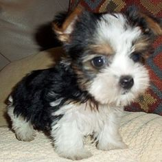 Cute and Adorable Biewer Terrier Puppy