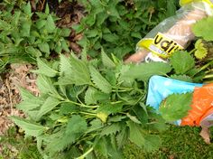 Leah Lizarondo, with her hands covered in plastic bags, gathers stinging nettles.