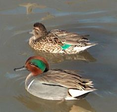 Ducks of the World- Green winged teal Ew920