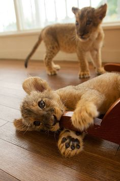 Baby lions!