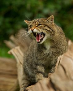 Macavity, one of the Scottish wildcats (UK's only native wild cat species) at the British Wildlife Centre, UK.