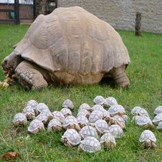 An 80-year-old tortoise and her babies.