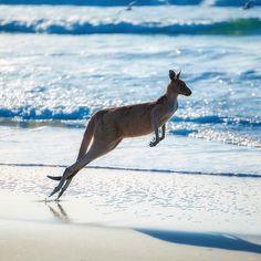 Beach bouncin' over on North Stradbroke Island in Queensland, Australia / Photo: Mcguigan Visuals -- Travel / World / Beach / Sun / Summer / Kangaroos / Love the animals / Love your planet Brisbane, Perth, Melbourne, Coast Australia, Australia Travel, Queensland Australia, Animals Of The World, Animals And Pets, Coral Castle
