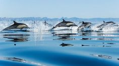 Pack Dolphins Sea Jumping