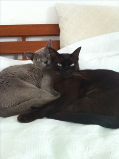 Burmese cats - brother and sister - very attached ❤❤❤