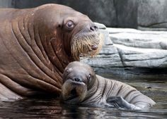 Dyna the walrus with her newborn baby at Tierpark Hagenbeck zoo in Hamburg, Germany. The little bull is the first walrus to be born in Germany. Baby Walrus, Baby Animals, Cute Animals, I Am The Walrus, Animal Projects, Animal House, Under The Sea, Worlds Largest, New Baby Products
