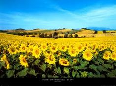 AHHHHH Kansas! Not really, but in a sunflower field!!