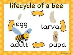 Bee life cycle poster+worksheet FREEBIE