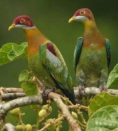 Ornate Fruit Doves