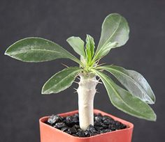 Pachypodium Lealii Saundersii White Flower Rare Madagascar Palm Plant Cactus Cacti Caudex Bonsai 2 Pot Grown At Exotic Cactus Collection *** For more information, visit image link.