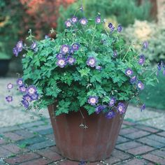 What is a hardy geranium? Geranium Rozanne, Hardy Geranium, Garden Oasis, Dream Garden, Geraniums, Trellis, Garden Inspiration, Potted Plants, Gardening Tips