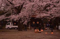夜桜準備中