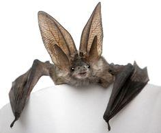 Animals And Pets, Baby Animals, Cute Animals, Murcielago Animal, Reptiles, Mammals, Baby Bats, Cute Bat, Creatures Of The Night
