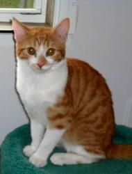 Diva is an adoptable Domestic Short Hair - Orange And White Cat in Statesville, NC. Diva and sister penny were abandoned at a cow farm, left to fend for themselves. Diva is a super sweet little girl. ...