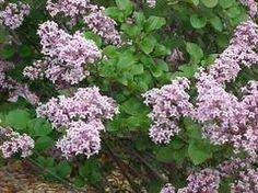 For Erosion Control-Trees & Shrubs-Full Sun: Lilac (Syringa meyeri 'Palibin') Easily grown in average, dry to medium, well-drained soil in full sun. Tolerates light shade, but best bloom is in full sun.