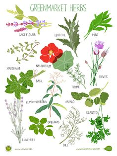 14 Green Market Herbs || Illus. by Claudia G Pearson
