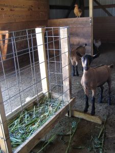Free Goat Shed Plans | Feeding Sheep…for a Clean Fleece | Sheepy Hollow Farm Life