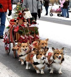 Sleigh pulled by Corgis