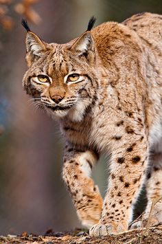 Walking lynx | Even if the shot is a bit blurry, I like her … | Flickr