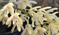 Australia's Rock Orchid tells story of evolution and climate change – CSIROscope Climate Change, Orchids, White Flowers, Australian Garden, Herbs, Plants, Wildlife, Survival, Advice