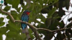 https://www.facebook.com/WonderBirdSpecies/ Black bee-eater (Merops gularis); Africa; IUCN Red List of Threatened Species 3.1 : Least Concern (LC)(Loài ít quan tâm) || Trảu đen châu Phi; Họ Trảu-Meropidae (Bee-eater).