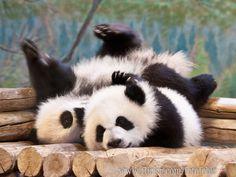 https://flic.kr/p/Jjg5fw   Toronto Zoo   Toronto Zoo ~ June 2016 ~ Panda Cubs Jia Panpan and Jia Yueyue