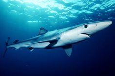 Requiem Shark   the blue shark prionace glauca is a species of requiem shark family ...