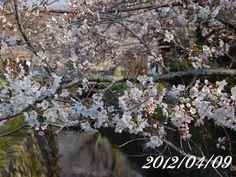 京都 哲学の道 桜 2012/04/09