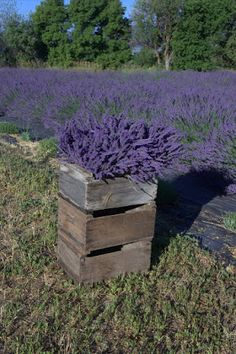 The Lavender Apple
