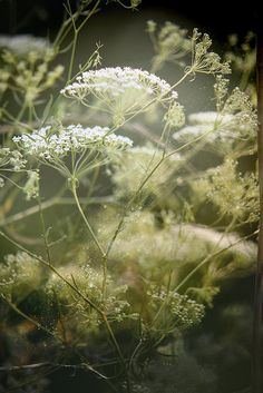 Daucus carota - Queen Anne's Lace - Use as filler for a lacy, 'transparent' effect in the garden bed with verbena bonariensis, lavender, salvia, lambs ears, etc, the mediterranean garden.
