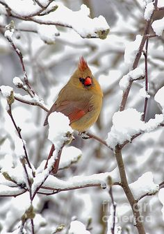 Female Cardinal In The Snow by Denise Dempster